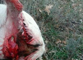 Un ganadero denuncia un nuevo ataque de lobos en la Sierra