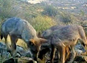 El lobo se instala en el Parque Nacional de Guadarrama