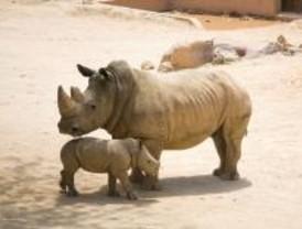 La rinoceronte 'Cronos', nacida por inseminación artificial, es la primera en España