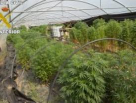 Descubierta una plantación de marihuana en Pedrezuela.