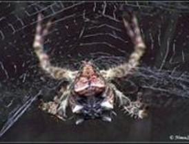 Las arañas tejedoras más antiguas vivieron hace 15 millones de años