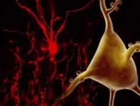 Identifican la función de dos genes relacionados con la esquizofrenia