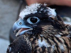 La Comunidad reintroduce en el cielo a cinco halcones peregrinos