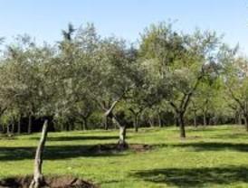 Madrid dedica 1.600 hectáreas a olivares ecológicos