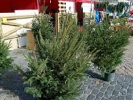 Pinto repartirá más de 400 árboles de Navidad