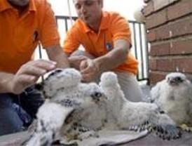 Nacen tres crías de halcón peregrino en la torre del Museo de América