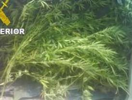 La Guardia Civil detiene a seis personas por plantar marihuana en la región