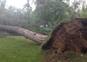 Cae un segundo pino esta semana en el Retiro