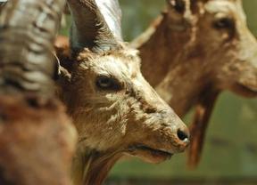 Representaciones de cabras montesas