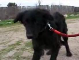 El Refugio rescata a una perra con 70 perdigones en su cuerpo y una bala