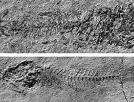 Una nueva especie de pez de hace 10 millones de años