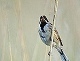 Escribano palustre, el ave del año
