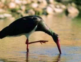 Las charcas, un hábitat clave para la cigüeña negra