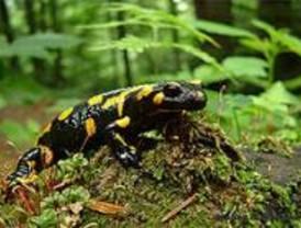 Identifican las causas evolutivas del canibalismo intrauterino en la salamandra