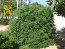 Intervienen una plantación de marihuana de 69 kilos