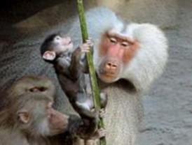 Roban un babuino