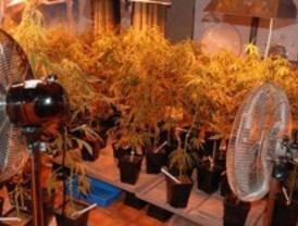 Desmantelado un piso de cultivo de marihuana