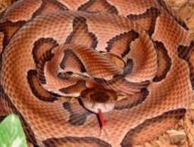 El Seprona encuentra dos serpientes venenosas en una casa