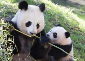 El Zoo celebra este sábado el cumpleaños de la familia de osos panda con tarta incluida