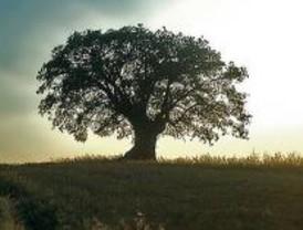 El roble, rey de los árboles