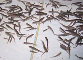 Los peces actúan de centinelas de la calidad de agua