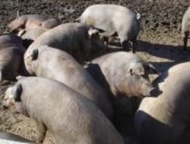 Clausurado un matadero ilegal de cerdos en Colmenar Viejo