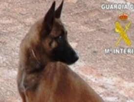 La Guardia Civil busca familia de acogida para cachorros de sus perros de élite