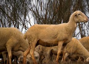 Ovejas pastando en Albacete