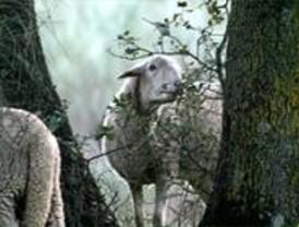 El Ayuntamiento reconoce que las ovejas se comen los árboles nuevos de la Casa de Campo