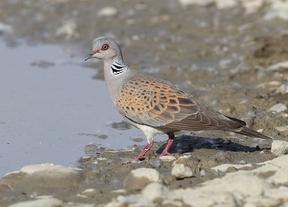 SEO/BirdLife elige como ave del año a la tórtola europea