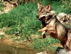 El lobo vuelve al valle de Lozoya