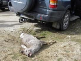 Sólo 12 euros de multa por la caza ilegal de un corzo