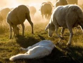 Perros salvajes atacan un rebaño de ovejas