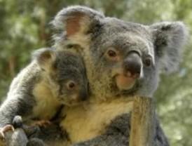 Treinta especies de eucalipto para los koalas madrileños