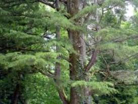 El cedro de Líbano