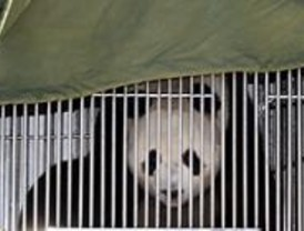 La nueva osa panda del Zoo cumple años vigilada por siete cámaras