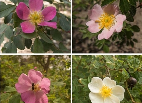 Madrid reúne la primera colección viva de rosales silvestres ibéricos