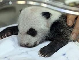 Una de las crías de panda ya tiene nombre