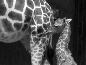 Nace una cría de jirafa en el zoo