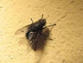 Secuencian en la mosca de la fruta una parte del genoma no estudiada hasta ahora