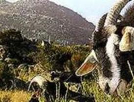 La sobrepoblación de cabras montés en la Pedriza obliga a dispersarlas