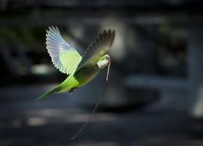 SEO/BirdLife pide ayuda ciudadana para el primer censo nacional de cotorras