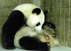 El nuevo panda del Zoo es macho y goza de buena salud