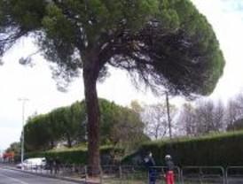 Inicio de la campaña de conservación de árboles centenarios en Boadilla del Monte