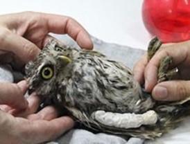 Acupuntura para curar aves rapaces