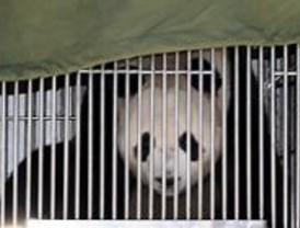 Madrid recibe a los pandas con todos los honores