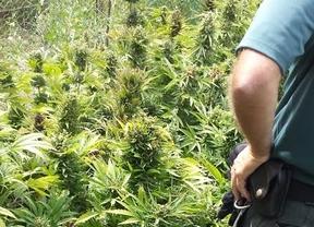Requisadas 154 plantas de marihuana en Chinchón