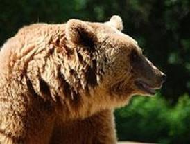 Una exposición mostrará la cara menos conocida del oso pardo