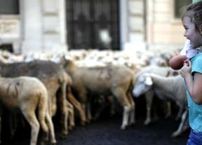 2.000 ovejas merinas cruzan Madrid en la Fiesta de la Trashumancia