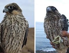 El plumaje más claro beneficia a dos especies de aves rapaces
